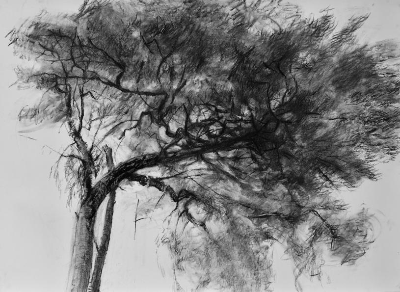 Pin d'Annick, fusain sur papier, 80 x 120 cm, 2012