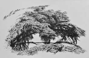 Escale dans un cèdre, encre de Chine sur papier, 30 x 40 cm, 2015 (collection privée)